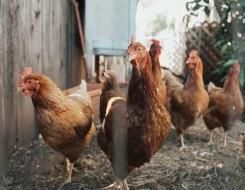 العرب اليوم - دراسة توضح دور الدجاج في الوقاية من الإصابة بسرطان الثدي