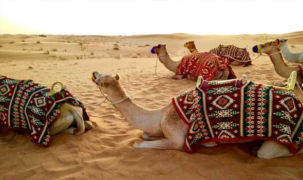 العرب اليوم - دراسة تكشف أن حليب الإبل يشتهر بخصائص علاجية لمكافحة مرض السكري والسرطان