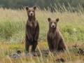 العرب اليوم - الروس يضعون أطواقا فضائية على رقاب الدببة في القطب الشمالي