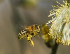 العرب اليوم - النحل يؤدي رقصات تعبيرية لاجتذاب المستعمرة إلى مناطق الطعام