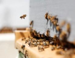 """العرب اليوم - تقرير يكشف فوائد """"سم النحل"""" وآثاره المدمرة للخلايا"""