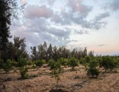 العرب اليوم - الأردن تعلن عن نجاح زراعة أول حقل من أشجار الباولونيا الصينية