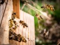 العرب اليوم - اكتشاف نوع من النحل في جنوب أفريقيا يتكاثر بالاستنساخ