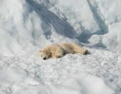 العرب اليوم - دراسة علمية توصلت إلى أن الدببة القطبية تتعرض لمواد كيميائية سامة من ذوبان الجليد