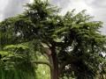 العرب اليوم - تغطية أكبر شجرة في العالم ببطانية ضخمة فيما حرائق كاليفورنيا تستعر