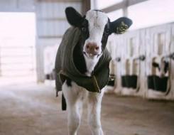 العرب اليوم - مزرعة أبقار فريدة من نوعها عائمة فوق الماء في روتردام الهولندية بغية حماية المناخ