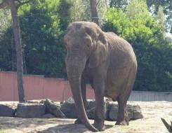العرب اليوم - أنثى فيل تسحق تمساحا حتى الموت لحماية صغيرها