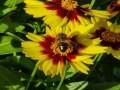 العرب اليوم - النحل يُغري النباتات لإفراز الروائح بشحنات كهربائية