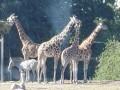 العرب اليوم - كورونا يتوغل في حديقة حيوانات واشنطن إصابة 6 أسود و3 نمور